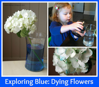 Science Experiment Dying Flowers Blue with Preschoolers from lalymom